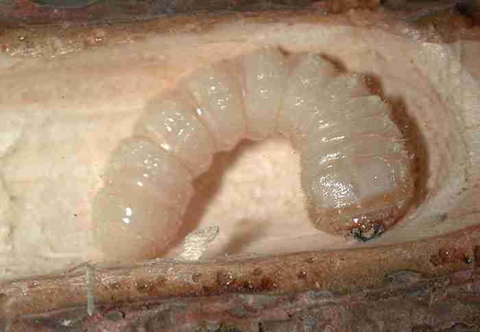 larva tarlo del legno