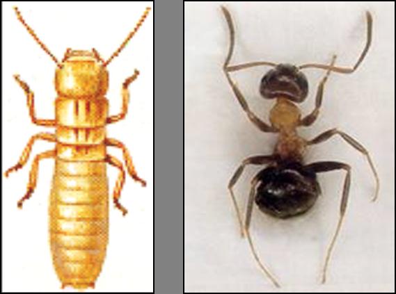 Termiti o formiche? Scopri i 4 trucchi per riconoscere l'infestante che si annida in casa tua