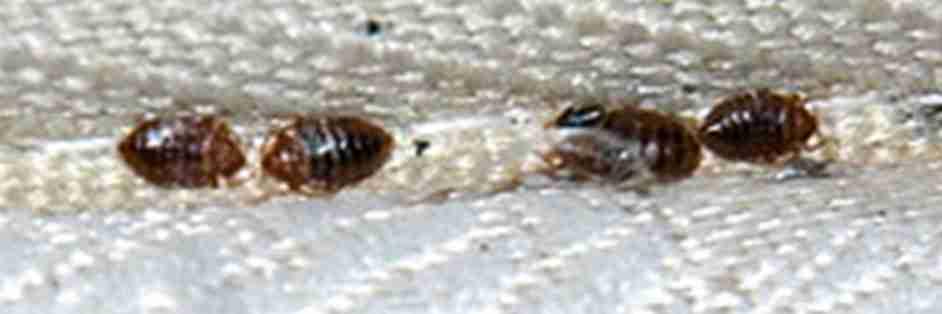 La cimice da letto for Cimice insetto