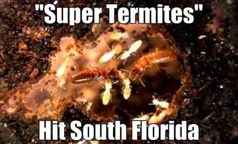 SCOPERTA SHOCK: E' nata la SUPER TERMITE, la specie più distruttiva al mondo!