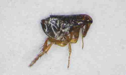 Punture di insetti come scoprire quale bestiaccia ti punge for Cimici rosse