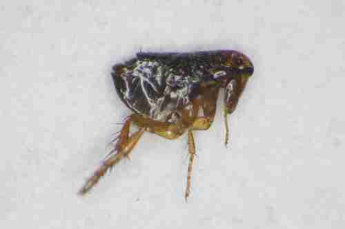 Punture di insetti come scoprire quale bestiaccia ti punge - Cimici letto punture ...
