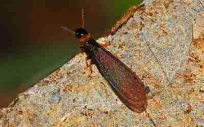 Nidi spot: l'imprevedibilità della termite Kalotermes flavicollis