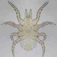 Ornithonysssus bacoti