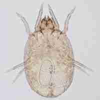 Dermatophagoides