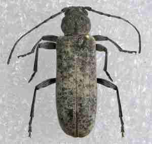 trichoferus